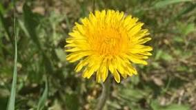 Image result for dandelion pee the bed