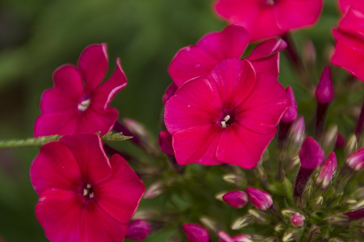 2013-07-28 Phlox paniculata 'Peacock Cherry Red'.jpg