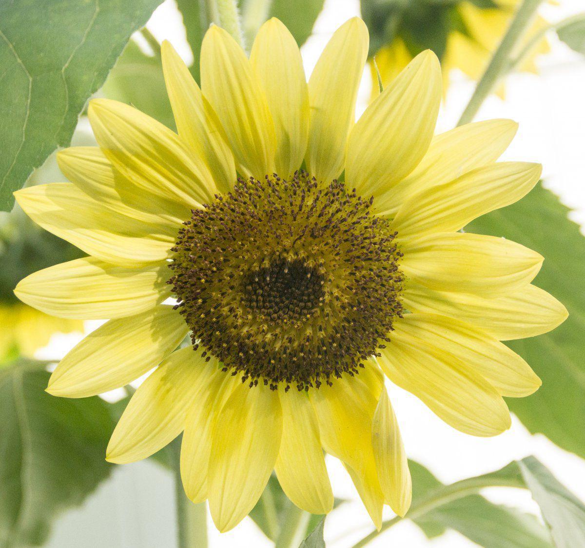 2013-09-05 Sunflower 'Japanese Silver-Leaf' (close-up).jpg