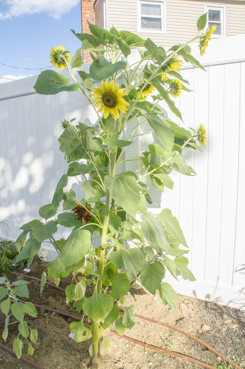 2013-09-05 Sunflower 'Japanese Silver-Leaf' (full-plant view).jpg