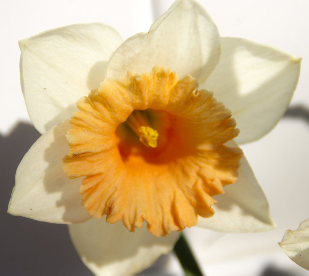 2014-05-04 Narcissus 'Pink Large Cupped Faith' (close-up).jpg