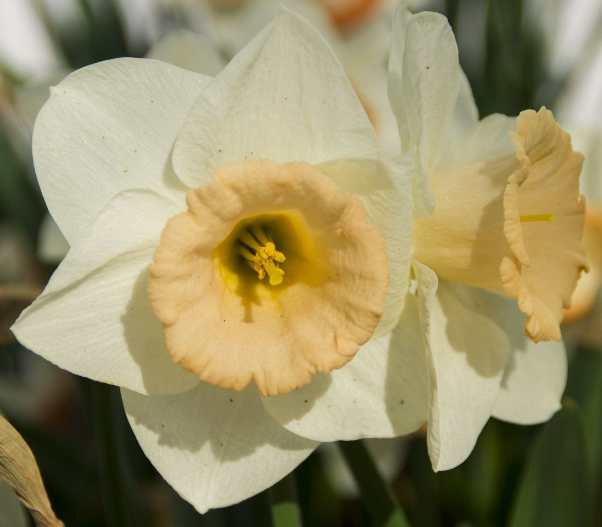 2014-05-04 Narcissus 'Pink Large Cupped Passionale (close-up).jpg
