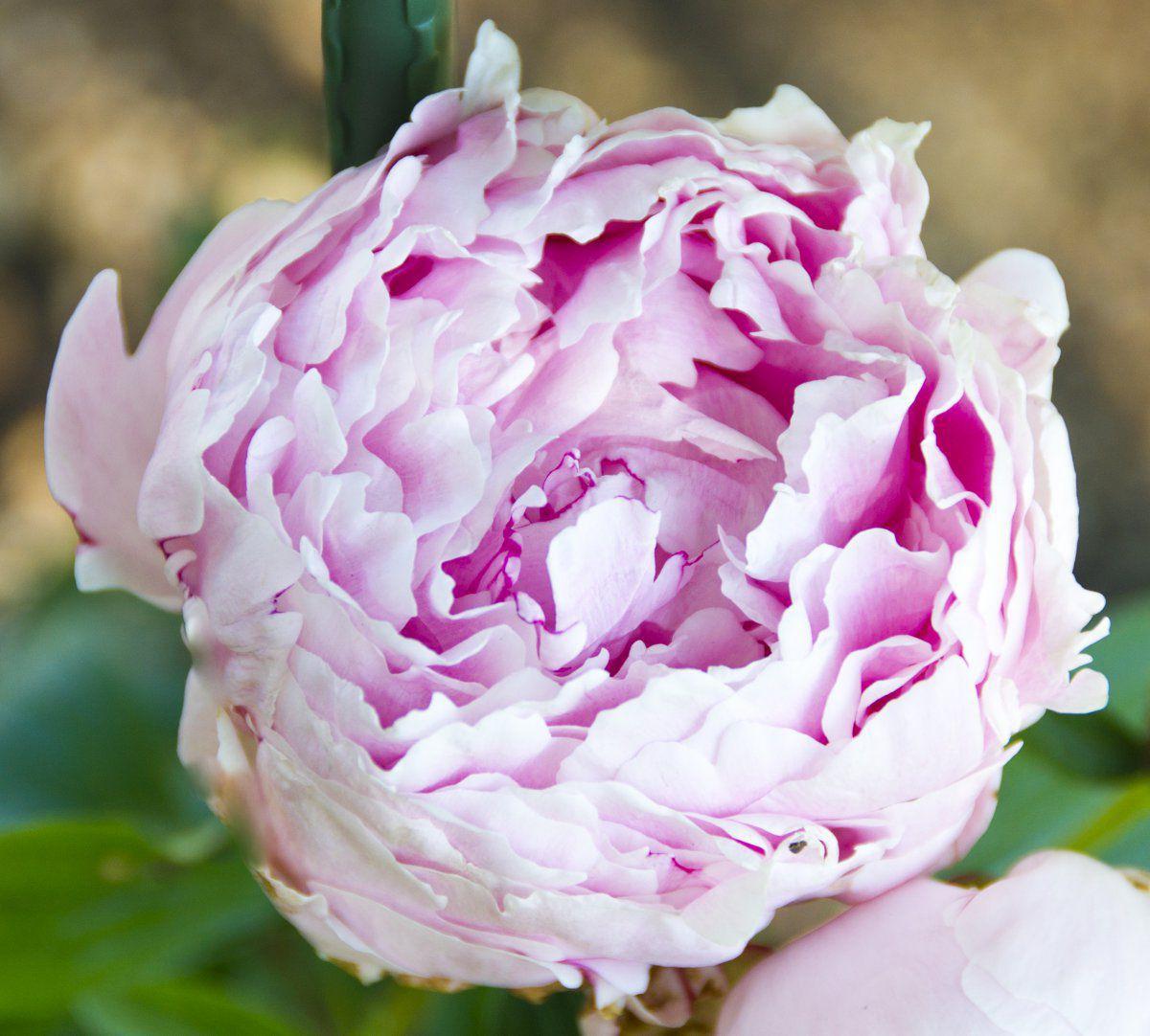 2016-06-09 Peony 'Sarah Bernhardt'.jpg