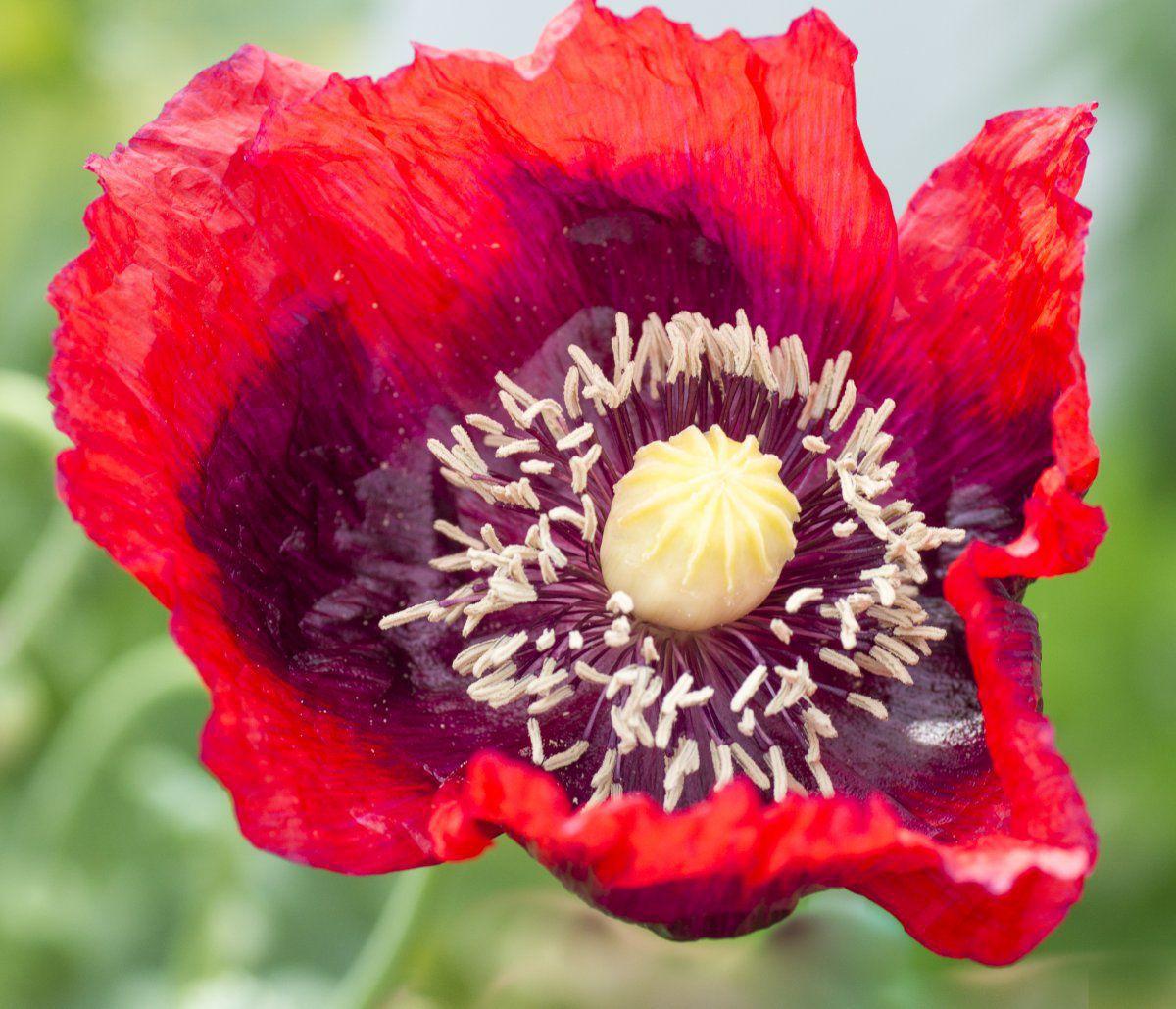 2016-06-23 Papaver hybridum 'Raspberry Breadseed Poppy' (close-up).jpg