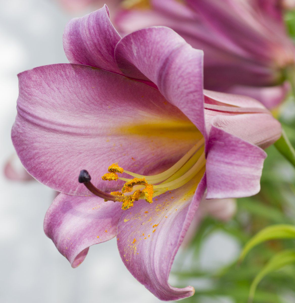 2016-07-04 Trumpet Lily 'Pink Perfection' (close-up, side-view).jpg