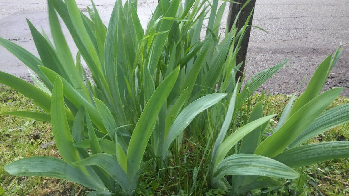 Iris not flowering after transplanting why gardening forums 20160514084410g izmirmasajfo Images