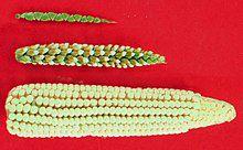220px-Maize-teosinte.jpg