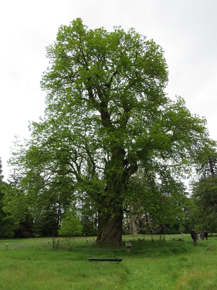 283 Sweet Chestnut Tree.JPG
