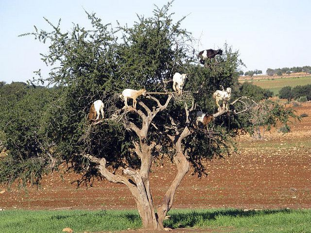 Goats In Trees Calendar 2012 The Goat Tree  ...