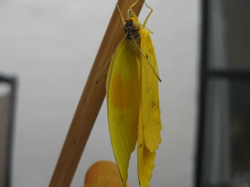 4 Orange barred Sulphur pre-flight.jpg
