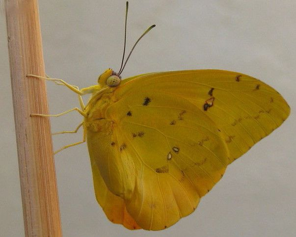 5 Orange barred Sulphur Butterfly.jpg