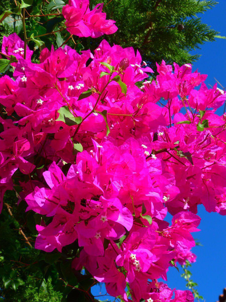 5 pelagia rose.jpg