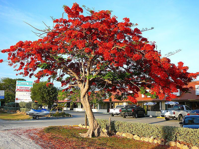 800px-Royal_Poinciana.jpg