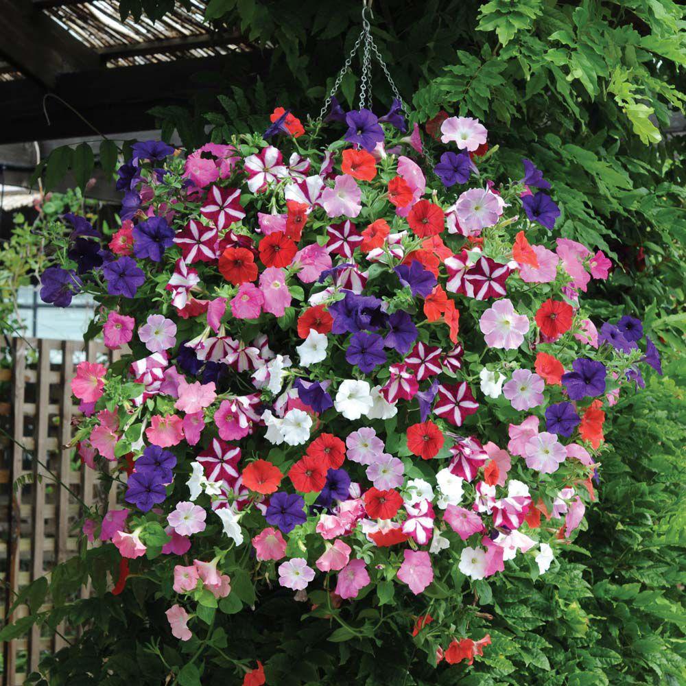 How To Get Big Full Hanging Baskets Of Petunias Gardening Forums