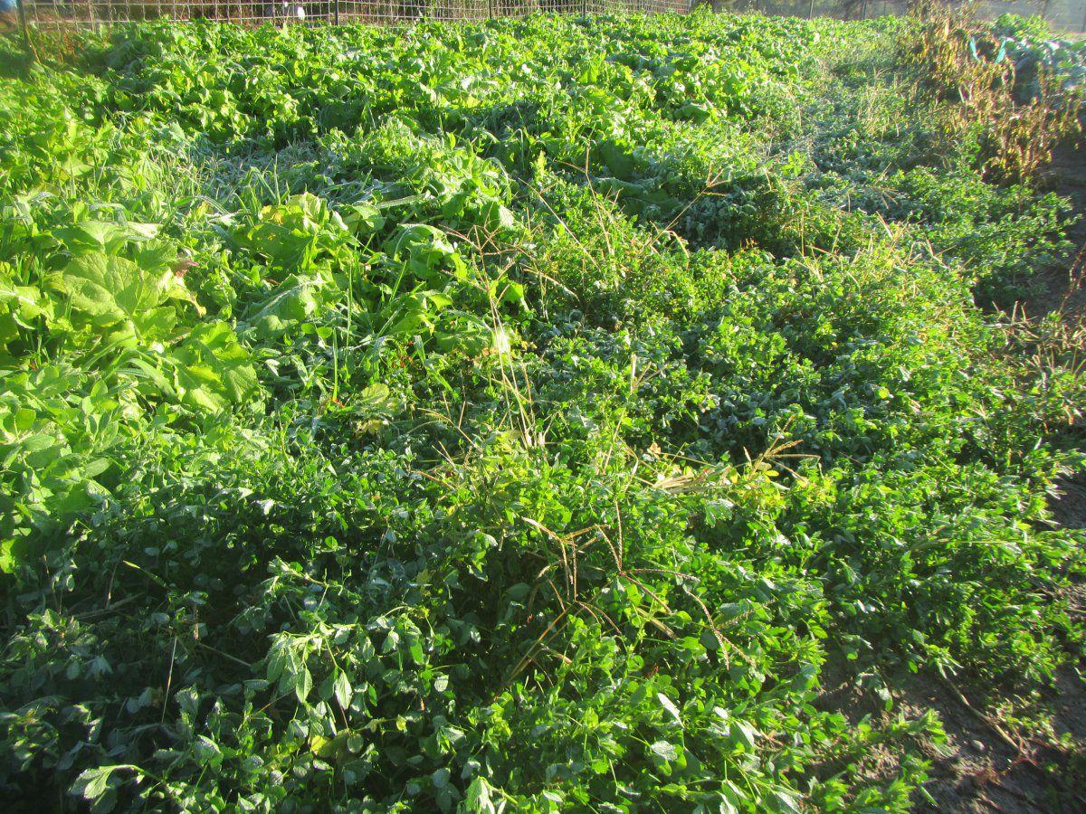 alfalfa after freeze.JPG