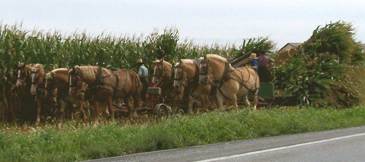 amish horses.jpg