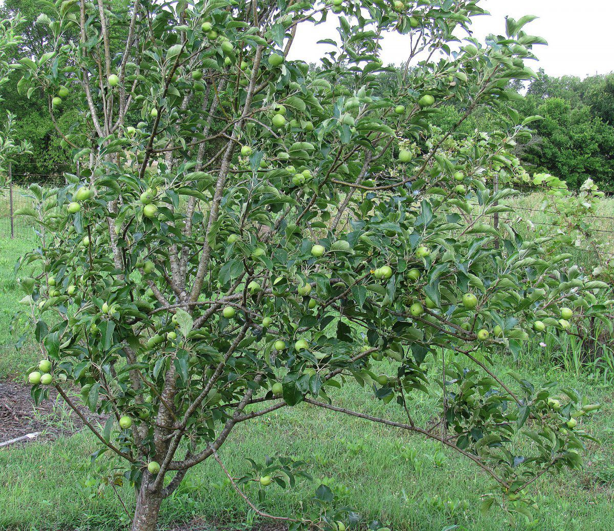Apple Tree a.jpg