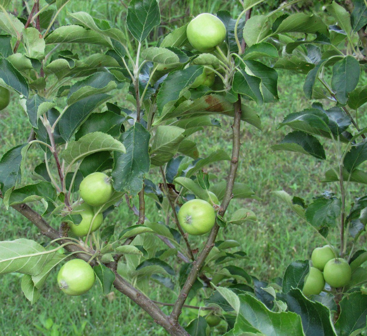 Apple Tree b.jpg