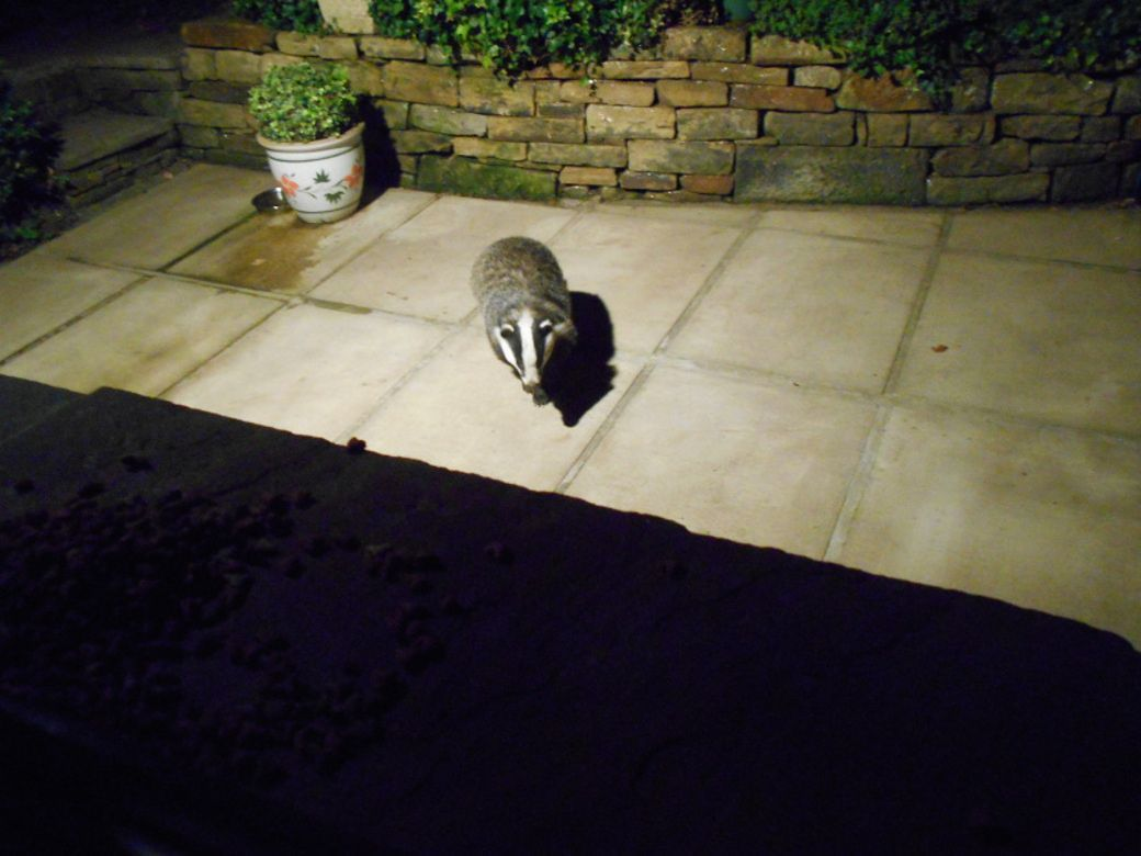 Badger..JPG