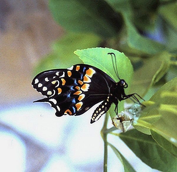 Black Swallowtail 3.jpg