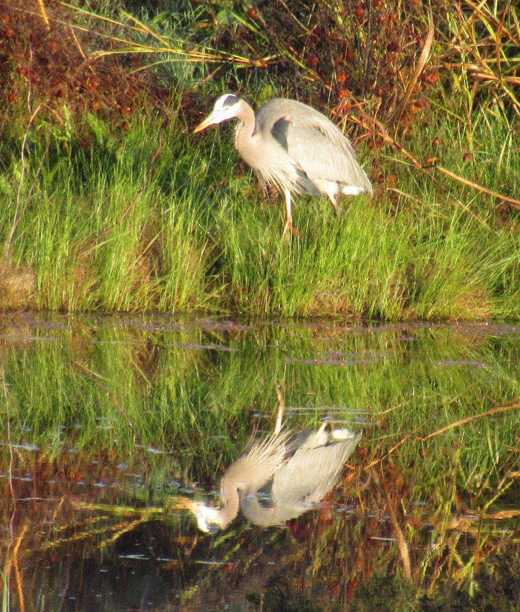 Blue Heron Reflection 3.jpg