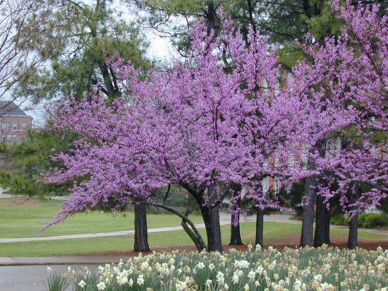 Cercis Canadensis - Forest Pansy Blossoms.jpg