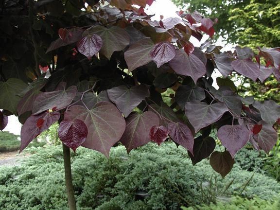 Cercis Canadensis - Forest Pansy Leaves 1.jpg