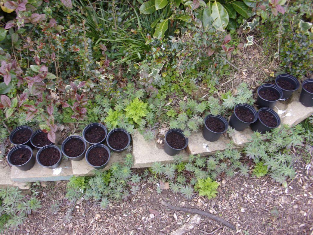 Cerestium seeds_001.JPG