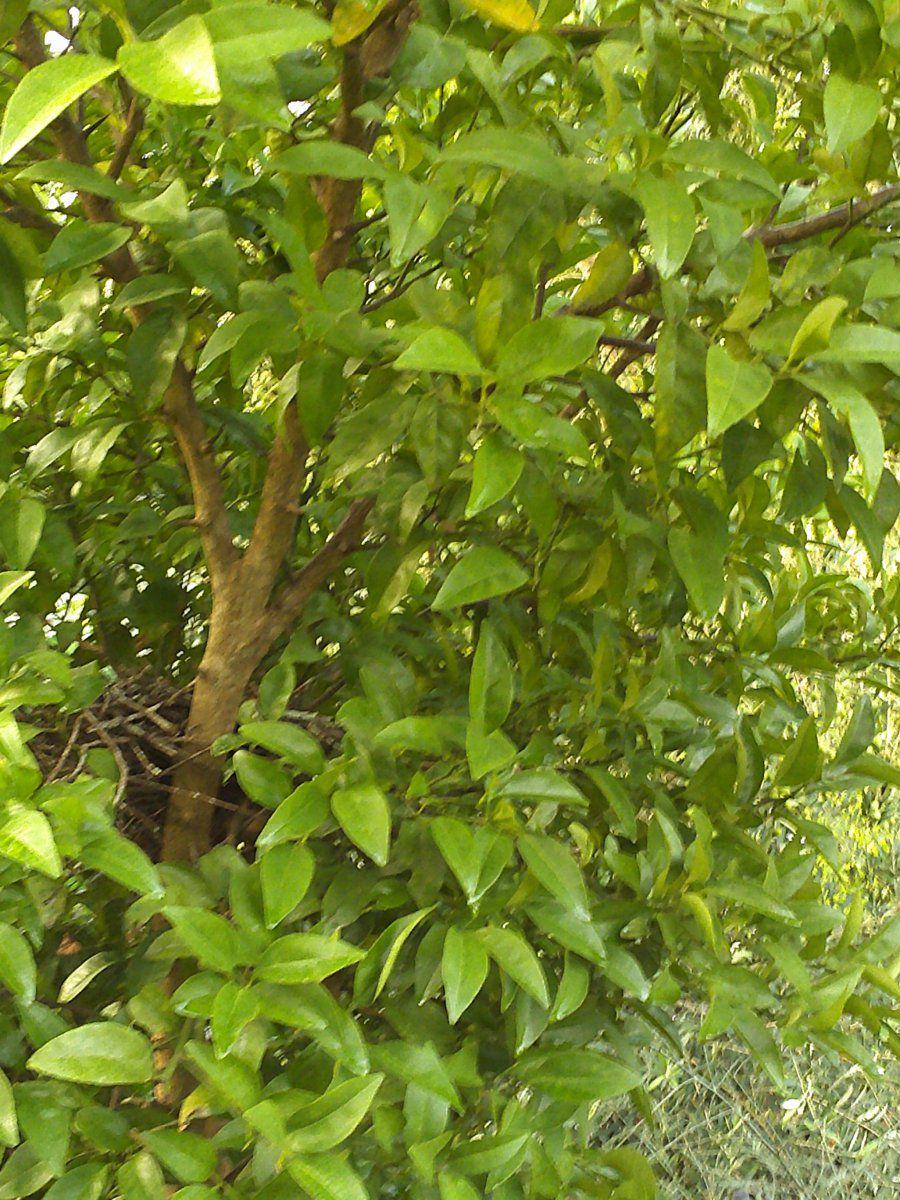 citrus tree in garden.JPG
