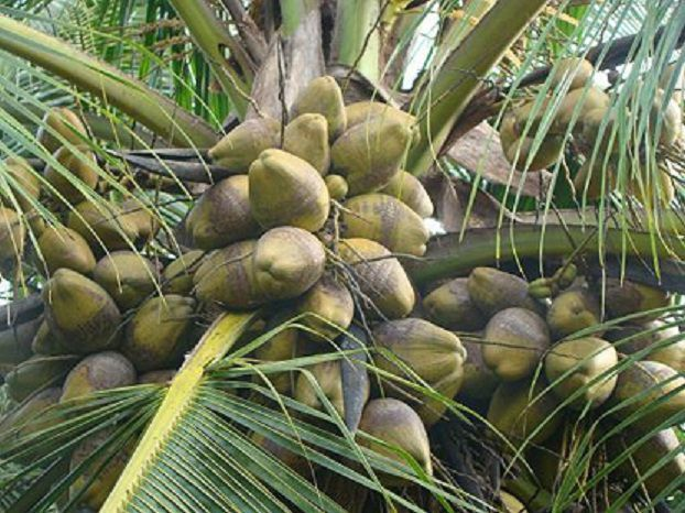 coconutgreen.jpg