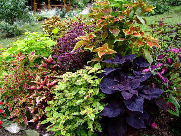 Coleus - Colorful coleus.jpg