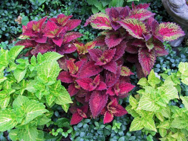 Coleus - Wild lime and Indian Summer.jpg