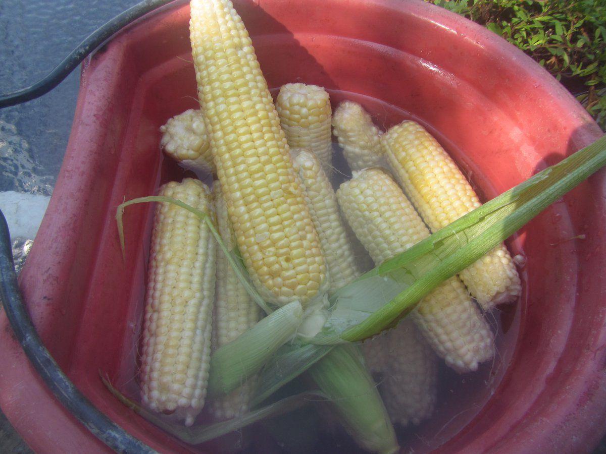 corn 20211.JPG