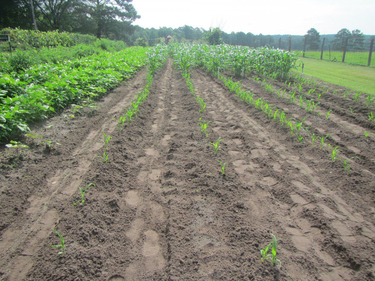 corn 3 sprout 2019.JPG