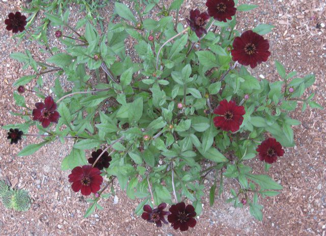 Cosmos Atrosanguineus - Chocamocha in gravel.jpg