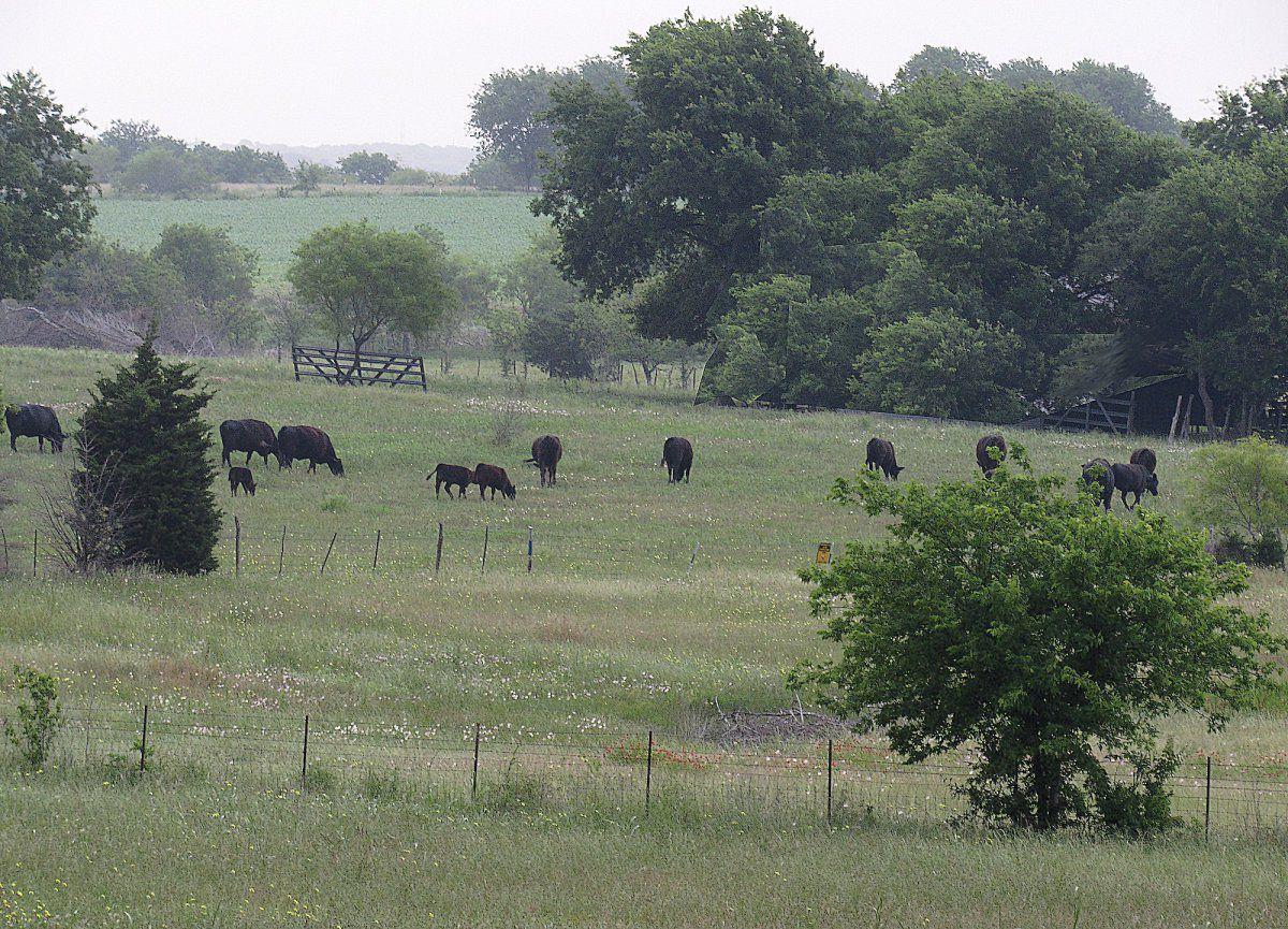 Cows b.jpg