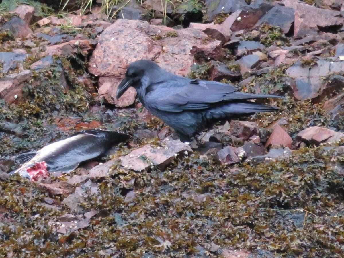 crow eating salmon.jpg
