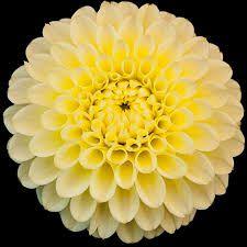 Dahlia Lemonade.jpg