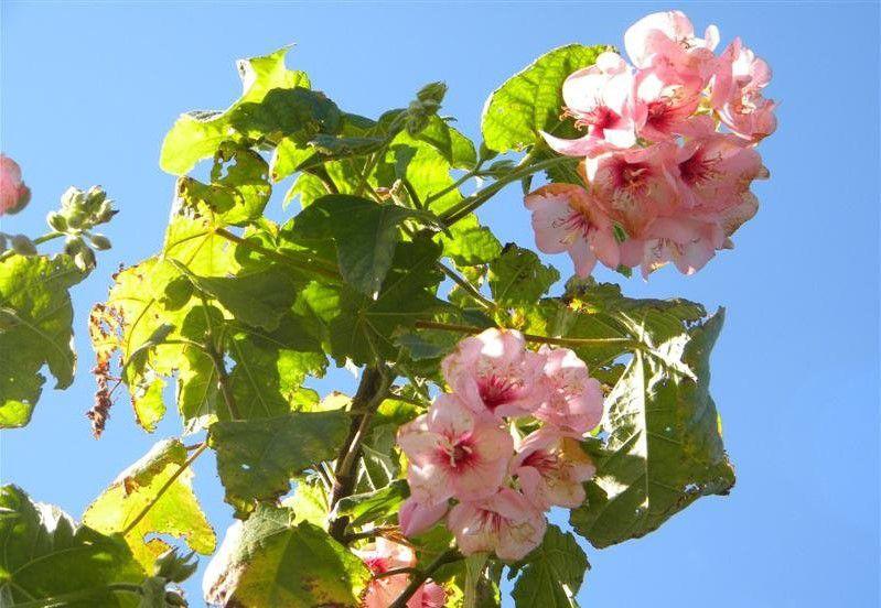 African Dombeya Burgessiae Tree Shrub Seeds Garden Pink Wild Pear