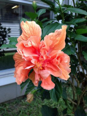 double_bloom_hibiscus_by_madmc97-d6a2qx1.jpg