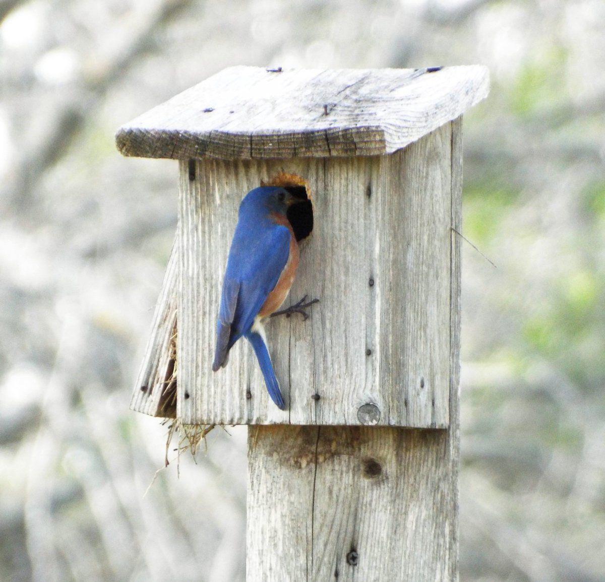 Eastern Bluebird 1.jpg