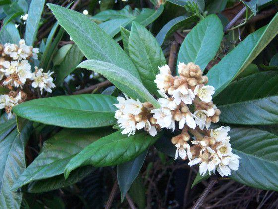 Eriobotrya_japonica_flowers.jpg