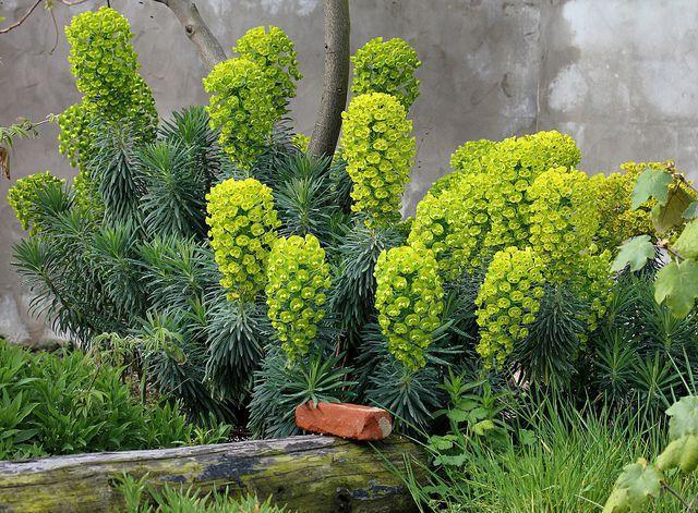 Euphorbia - Characias  - Dwarf .jpg