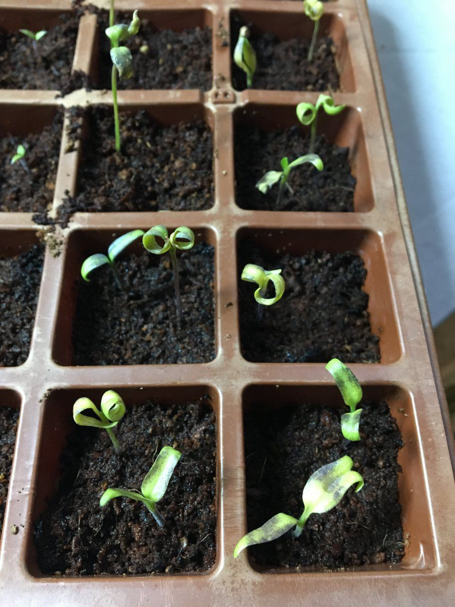 HELP: another year of slow-growing (tomato & pepper ...