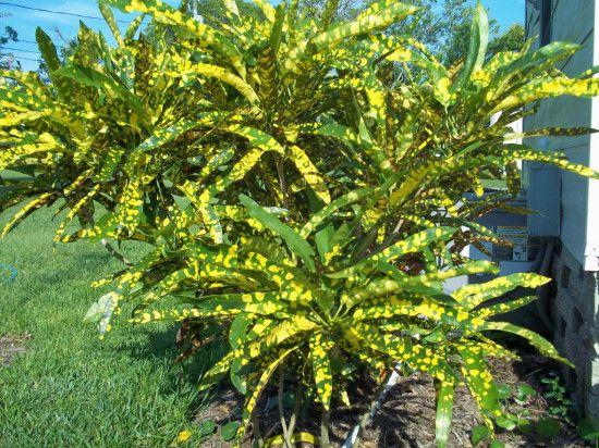 Foliage Plants - Codiaeum - Eleanor Roosevelt.jpg