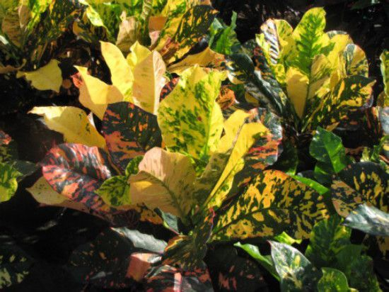 Foliage Plants - Codiaeum .V. Magnificent.JPG
