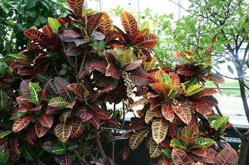 Foliage Plants - Codiaeum Variegatum  - Petra Shrub.jpg