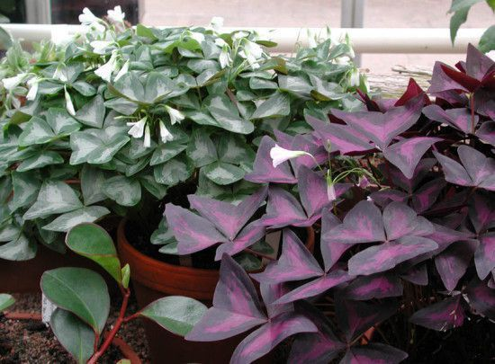 Foliage Plants - Oxalis.jpg