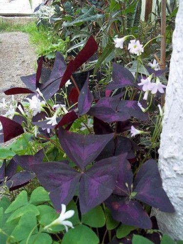 Foliage plants - Oxalis Regnellii .JPG