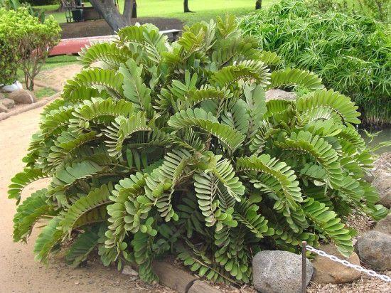 Ornamental plants with striking or colorful foliage for Planta ornamental zamia